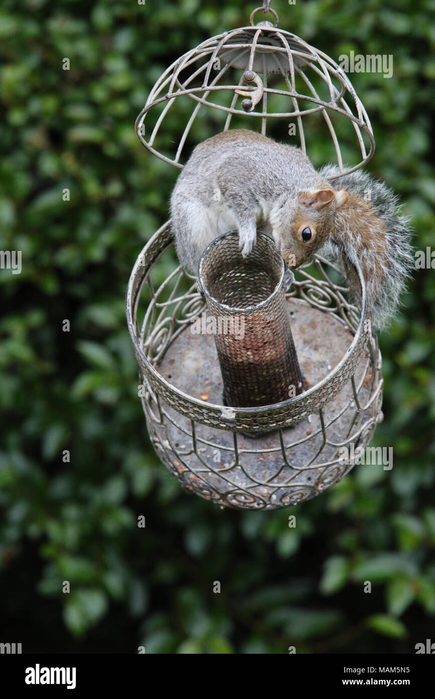 North Yorkshire, UK. 3rd March, 2018. Clever Squirrel feeding on peanuts on bird station in North Yorkshire garden Credit: credit: Matt Pennington / PennPix/Alamy Live News - Stock Image