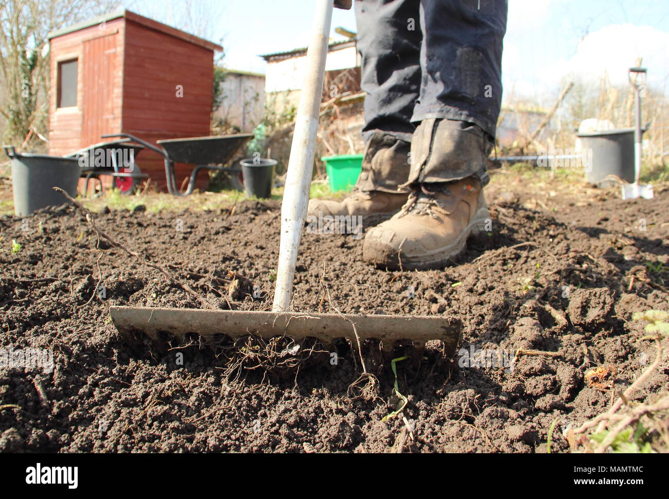 Gardener uses level-head rake to break up soil and remove weeds in a ...