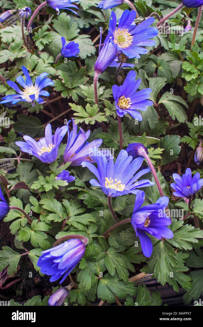 Anemone blanda blue in flower early spring clump forming anemone blanda blue in flower early spring clump forming spreading perennial ideal for naturalizing in woodland rock gardens mightylinksfo