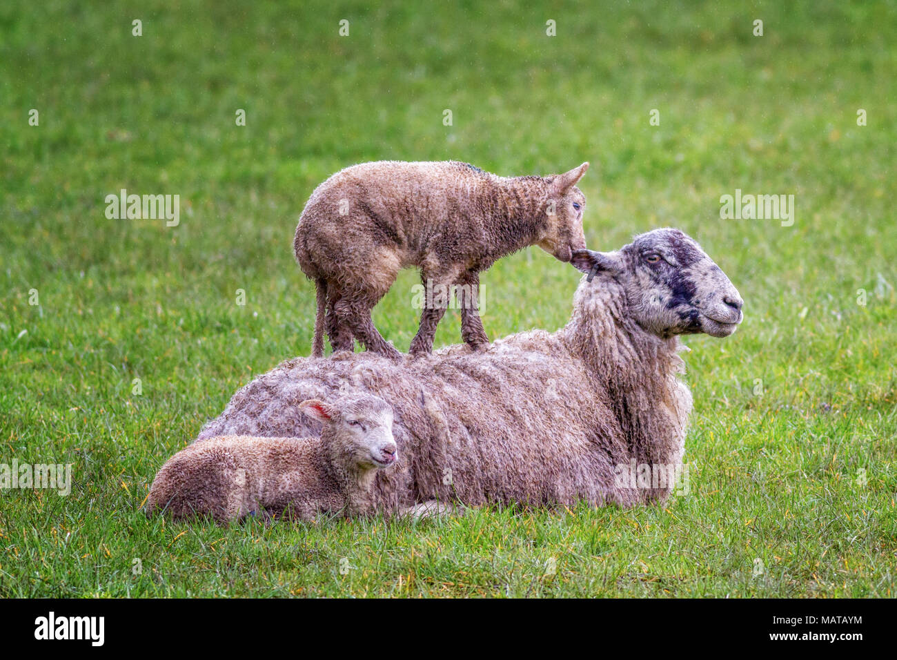 Burley-in-Wharfedale, West Yorkshire. 4th Apr, 2018. UK weather:  Lamb avoiding the wet by standing on its mother's back, 'If I nibble your ear, please can I stay standing up here?'  Rebecca Cole/Alamy Live News - Stock Image