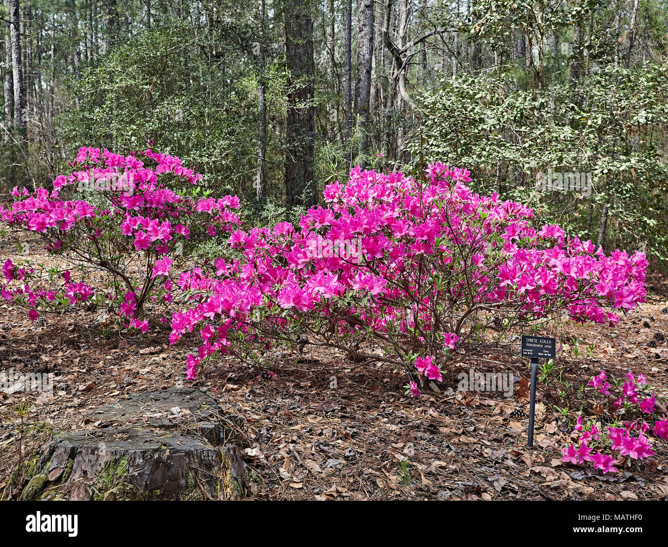 Rhododendron simsii, Chinese Azalea, growing and in full bloom or blooming with pink flowers or blooms in Callaway Garden, Pine Mountain Georgia, USA. - Stock Image