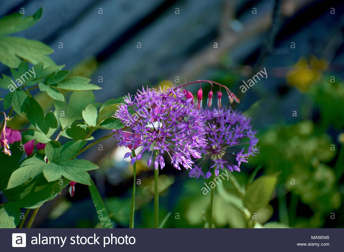 Romantic midsummer. Heartshaped pink flowers called Bleeding heart or Asian bleeding-heart. The lilac, purple flower is an Allium Violet Beauty. - Stock Image