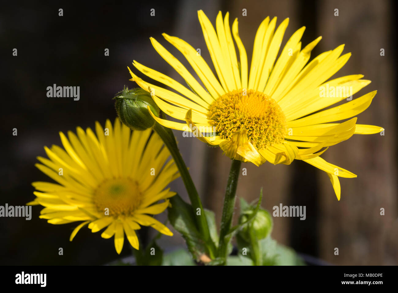 Bright Yellow Daisy Flowers Of The Shade Tolerant Spring Flowering
