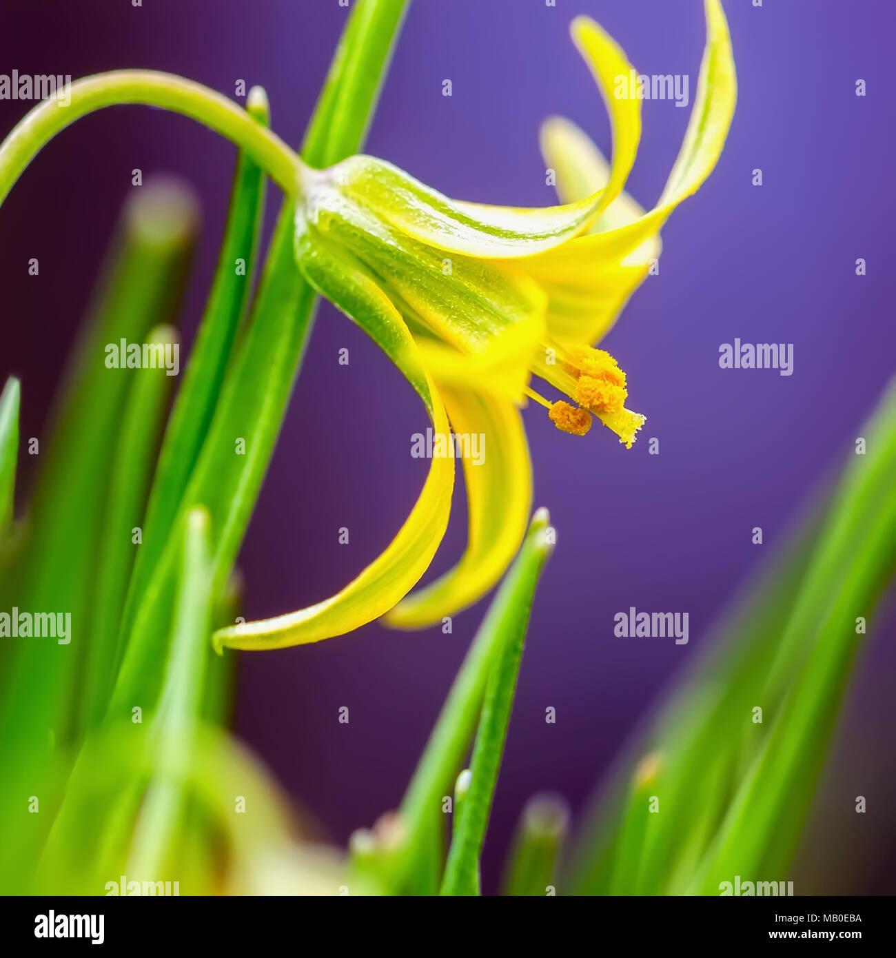 First Flower Of Spring Gagea Lutea Small Yellow Primrose Macro
