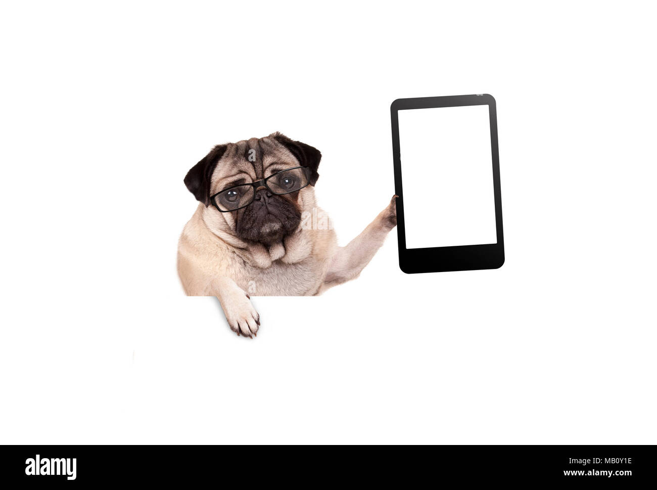 pug puppy dog with glasses holding up blank tablet or mobile phone, hanging on white banner, isolated - Stock Image