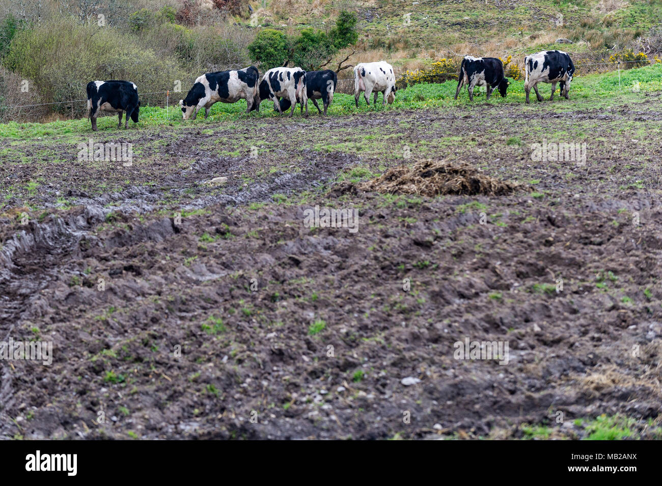 ballydehob-ireland-6th-apr-2018-a-herd-of-dairy-cows-attempt-to-eat-what-little-grass-there-is-left-in-a-field-of-mud-due-to-the-ongoing-fodder-crisis-in-ireland-the-poor-weather-has-led-to-no-grass-growth-with-fodder-having-to-be-imported-from-the-uk-to-help-desperate-farmers-credit-andy-gibsonalamy-live-news-MB2ANX.jpg