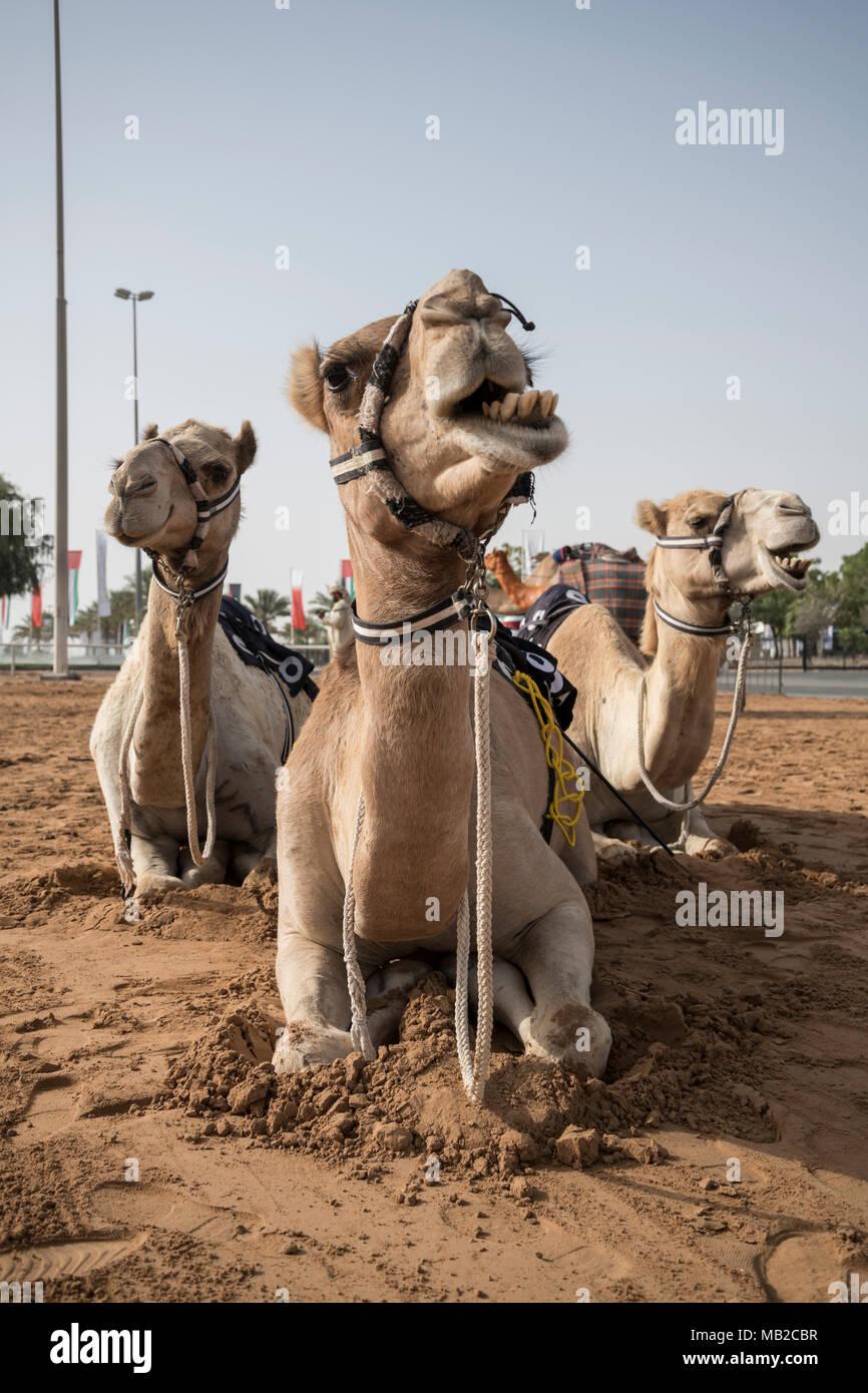 Dubai, United Arab Emirates,  6 April 2018. Camels at Al Marmoom Camel Race Festival. Sibag /Alamy Live News - Stock Image