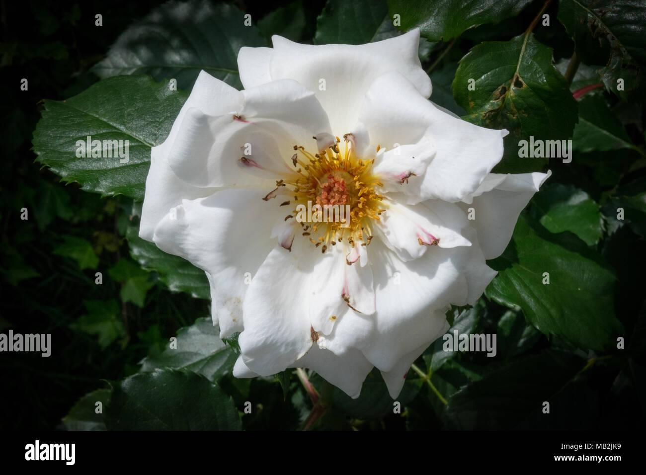 Margaret merril beautiful white rose flowers in and english country margaret merril beautiful white rose flowers in and english country garden izmirmasajfo