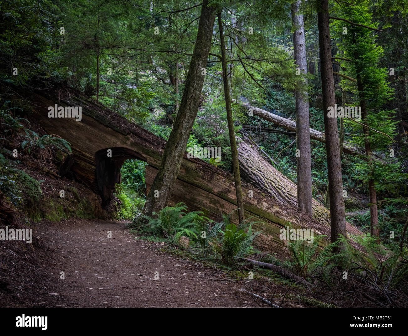 Walking Tunnel Through Redwood Tree Trunk in Thick Forest - Stock Image