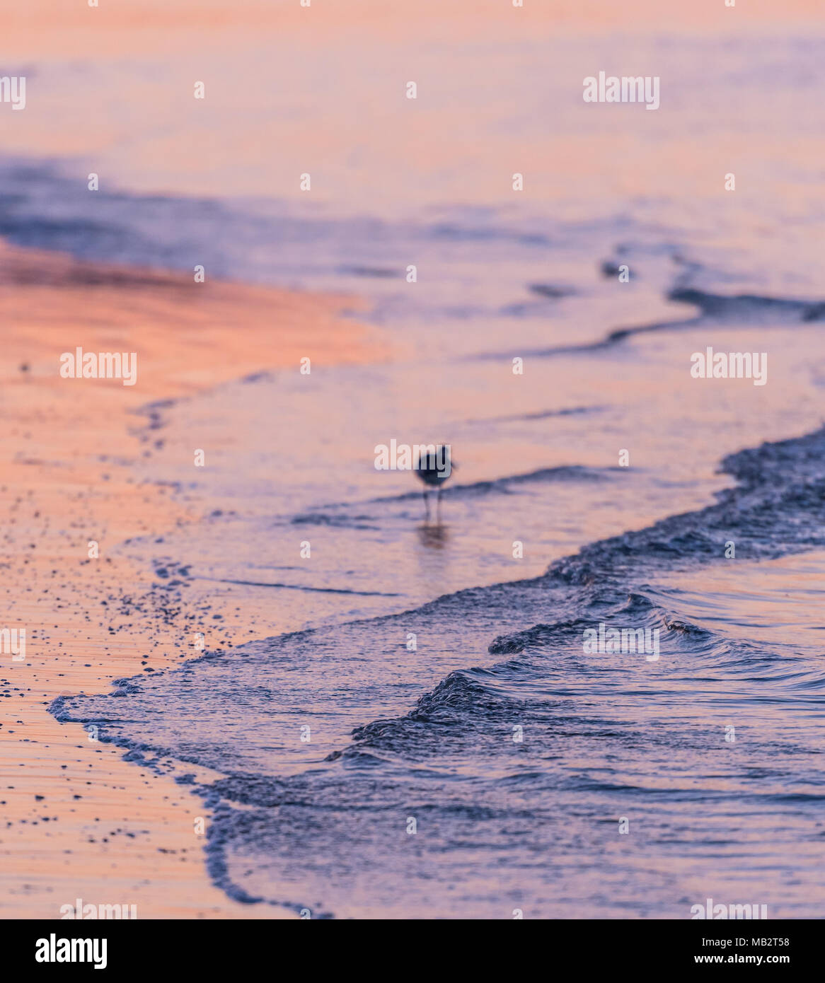 Waves Gently Lap the Shore While a Bird Feeds in early morning light - Stock Image
