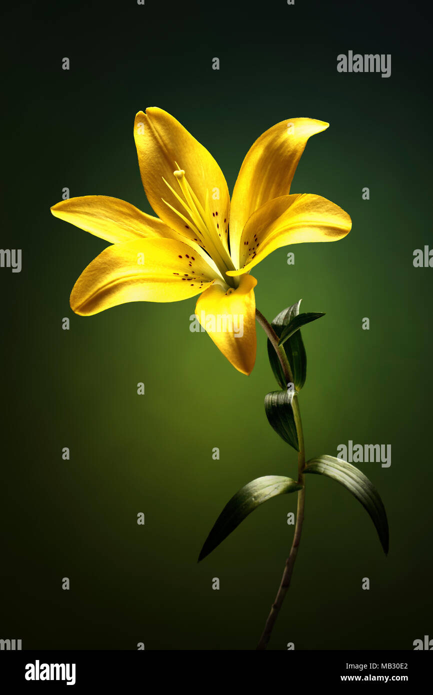 Yellow lily with stem and leaves against green background - Stock Image