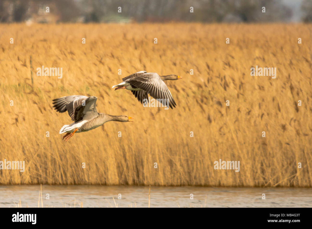 RSPB Blacktoft Sands  6th April 2018: Grey cold for waders, warblers and raptors at Englands largest intertidal reedbed, home to marsh harriers high water's along shipping route of the  River Ouse as konik ponies keep the marsh in good condition by grazing. Clifford Norton Alamy Live News. - Stock Image