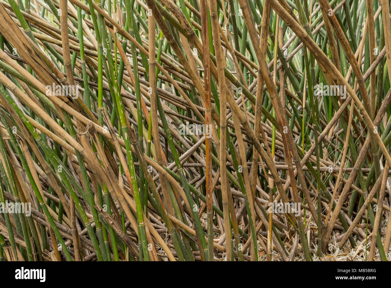 Bamboo Pick Up Sticks growing thick in forest - Stock Image
