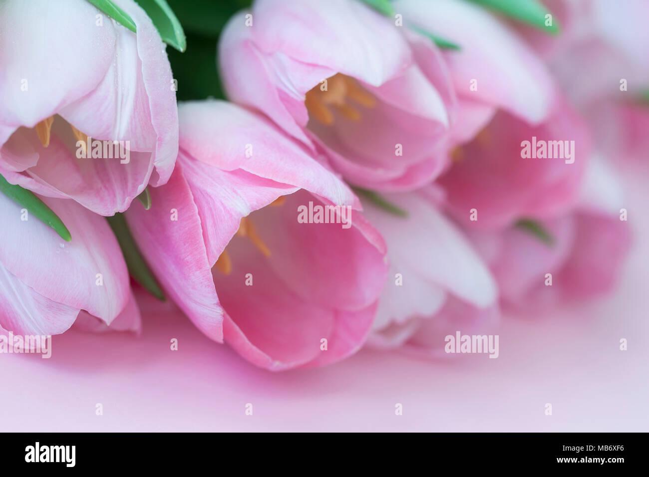 Light Pink Tender Background Tulips Soft Spring Romantic Floral