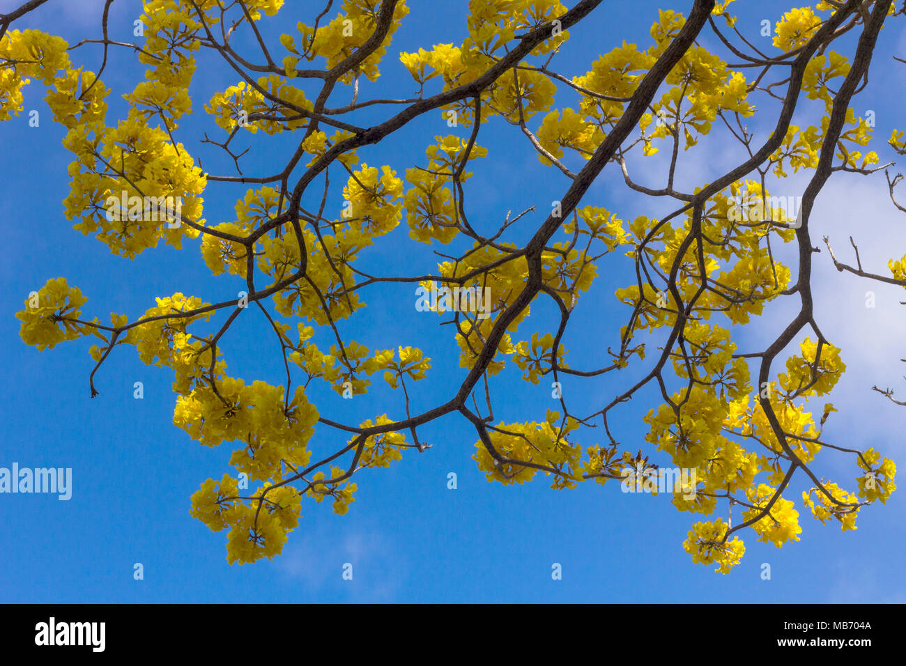 Beautiful yellow flowering tree the guayacan tree with large beautiful yellow flowering tree the guayacan tree with large bunches of big yellow blossoms in boquete panama mightylinksfo Image collections