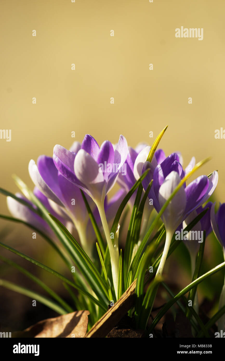 Crocus Plural Crocuses Or Croci Is A Genus Of Flowering Plants In