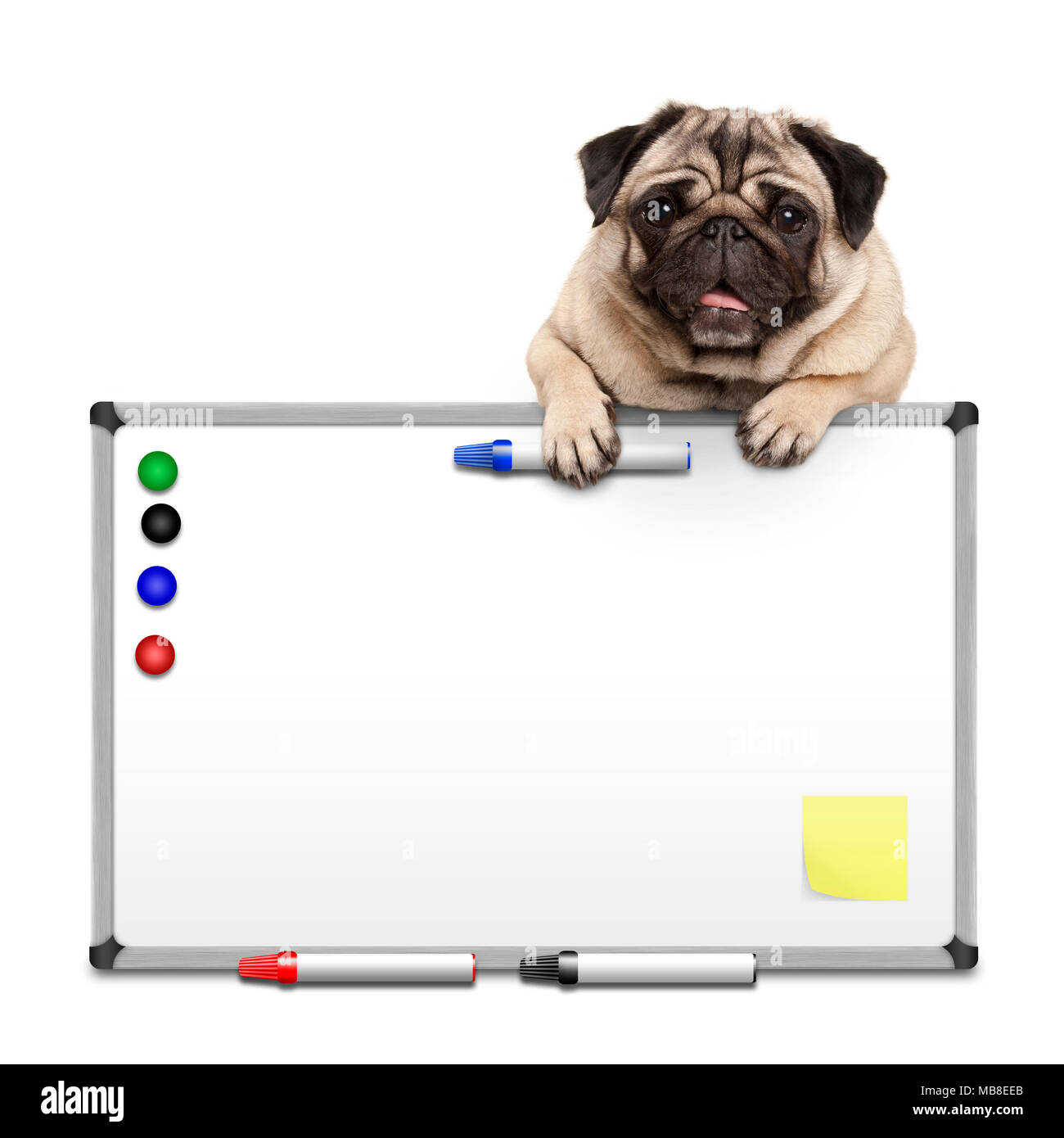 cute pug puppy dog hanging with paws on blank marke  white board with markers and magnets, isolated on white background - Stock Image