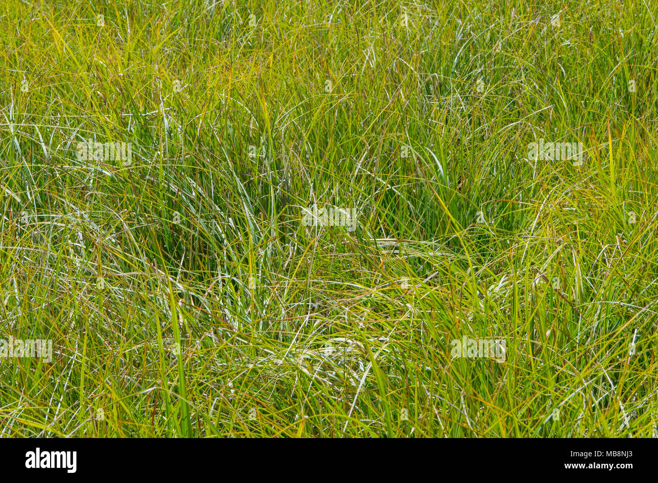 Close Up of Grassy Marsh in Rocky Mountain field - Stock Image