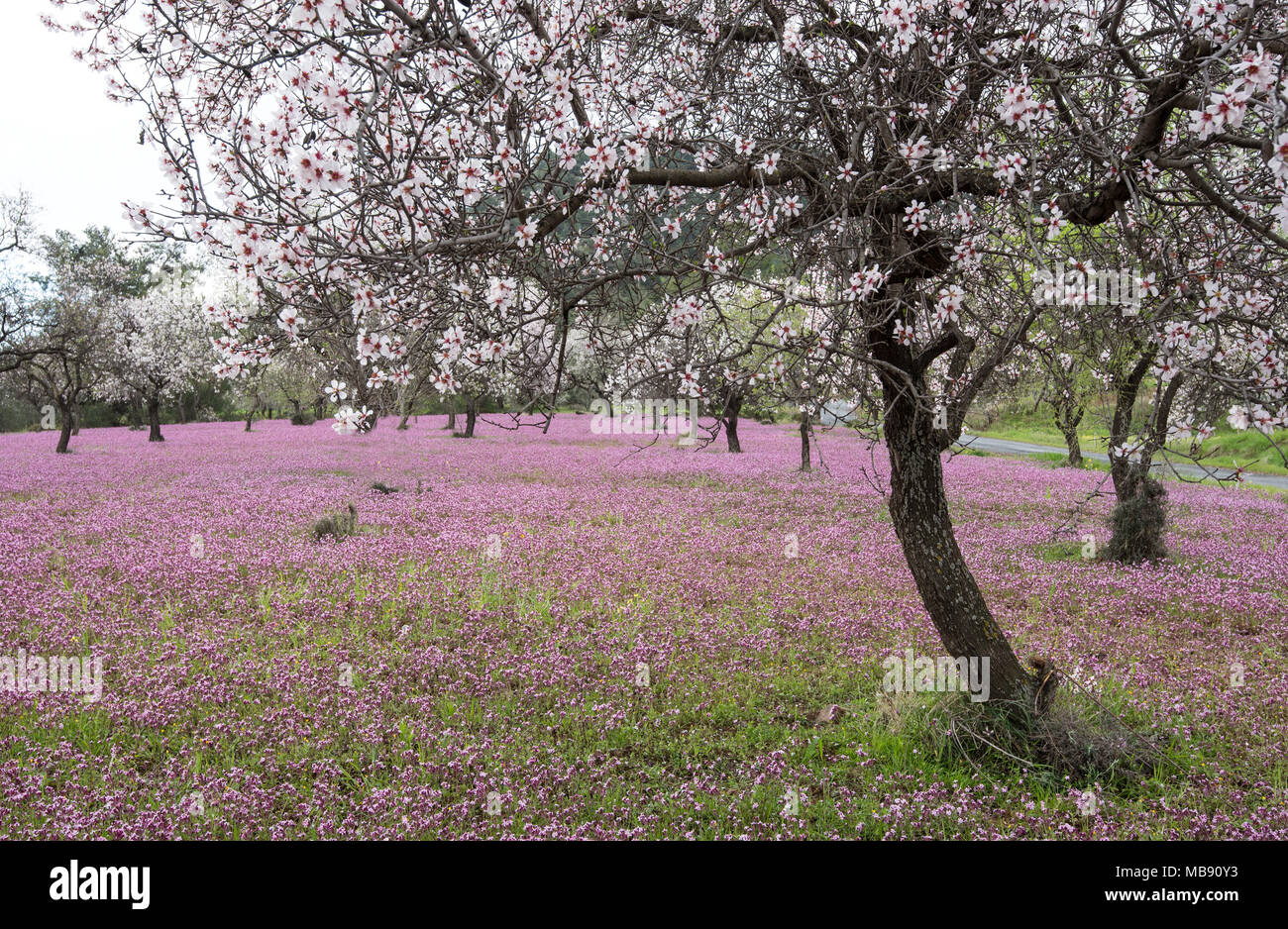 Beautiful Field With Almond Trees Full Of White Blossoms And Purple