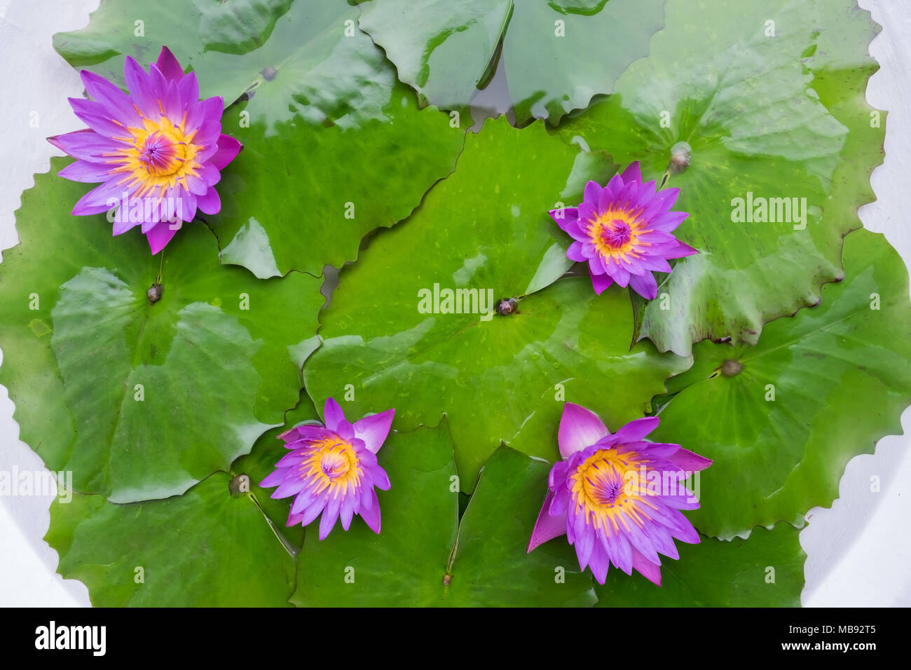 Water lily lotus flower and leaves in white pond stock photo water lily lotus flower and leaves in white pond izmirmasajfo Gallery