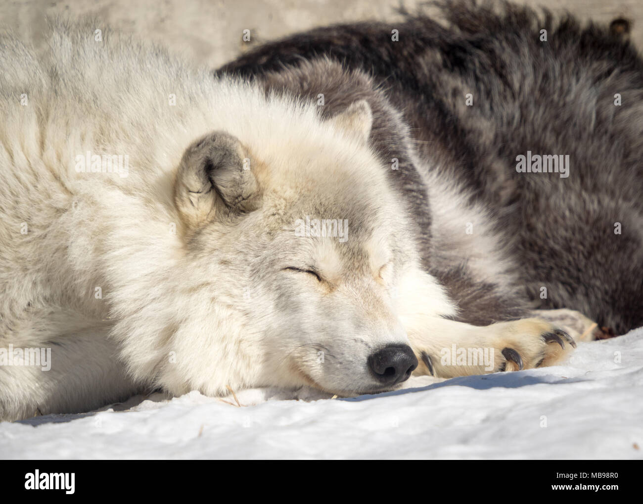 A sleeping gray wolf (Canis lupus) at the Saskatoon Forestry Farm Park and Zoo in Saskatoon, Saskatchewan, Canada. - Stock Image