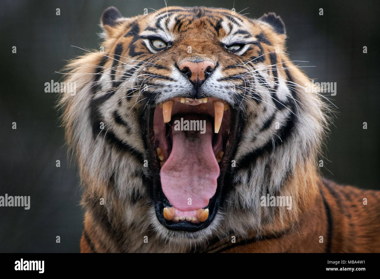 Edinburgh UK Apr 09 2018; Edinburgh Zoo Sumatran Tiger which is kept as part of a captive population safetynet against the extinction. credit steven scott taylor / alamy live news - Stock Image