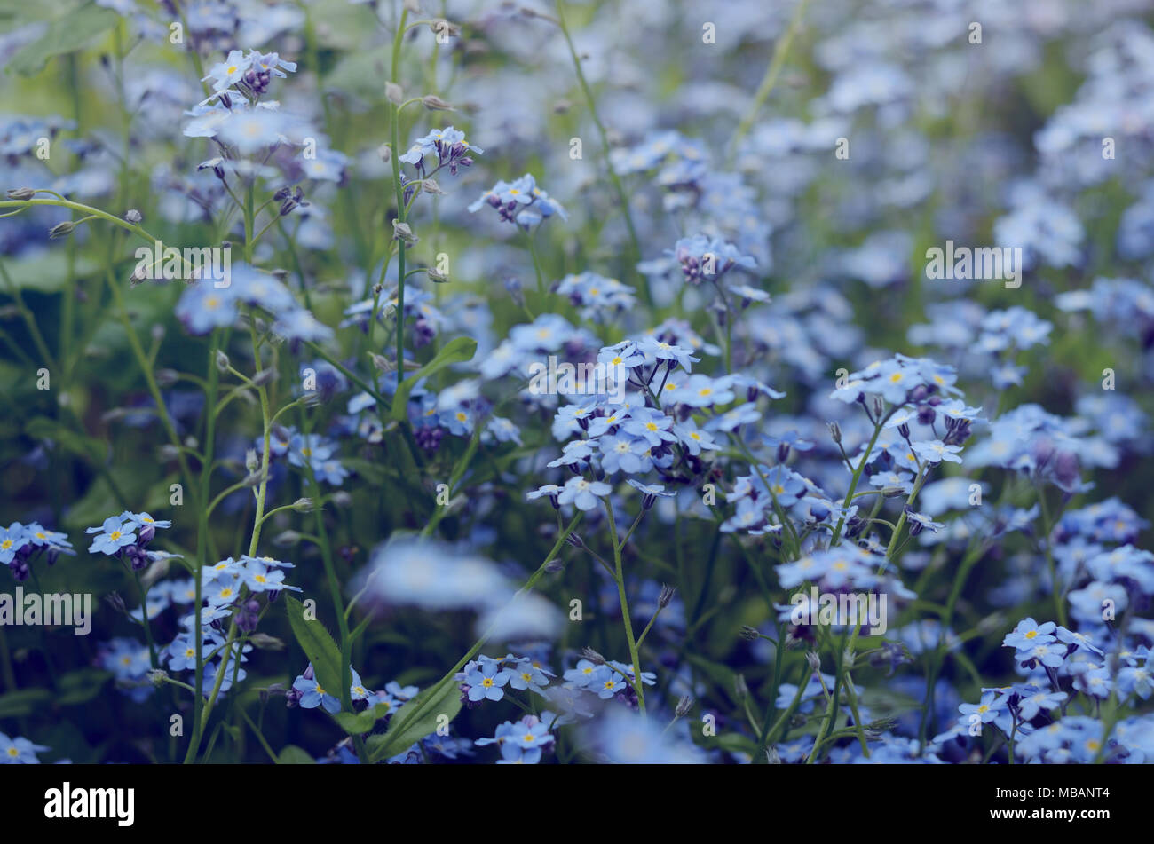 Wild Meadow Of Beautiful Blue Flowers Forget Me Not Summertime