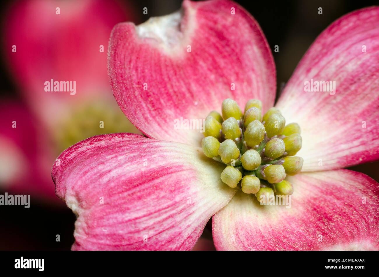 Pink Flowering Dogwood Flower Close Up Stock Photo 179105106 Alamy