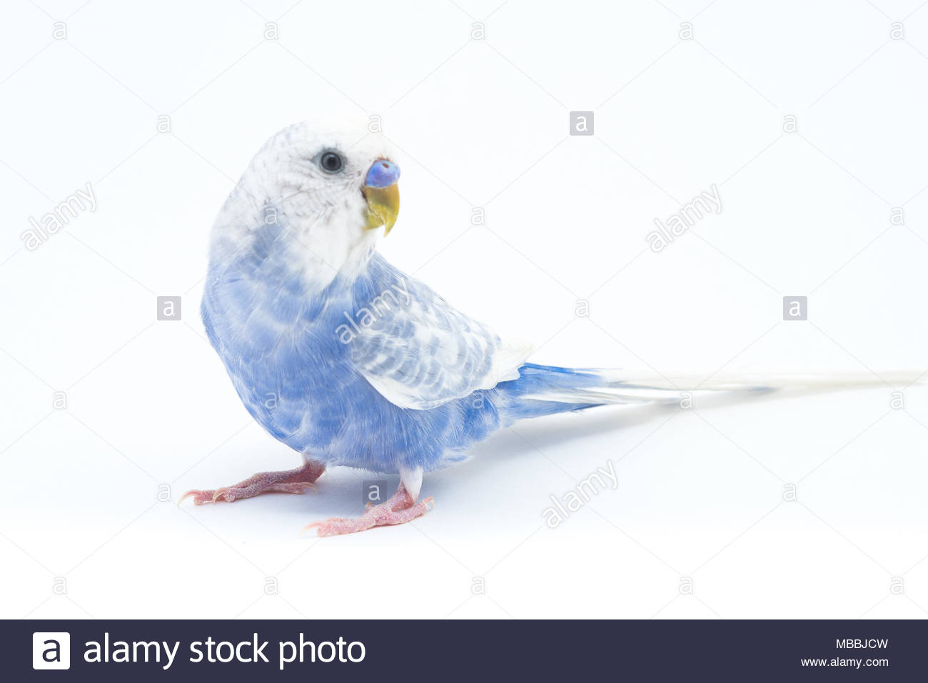 What is interesting wavy parrots, how to determine the age and gender 6