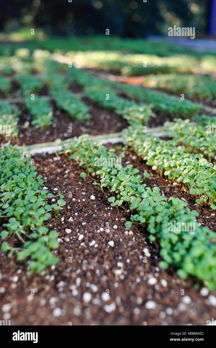 Trays of seedlings germinated inside a greenhouse in the USA. - Stock Image