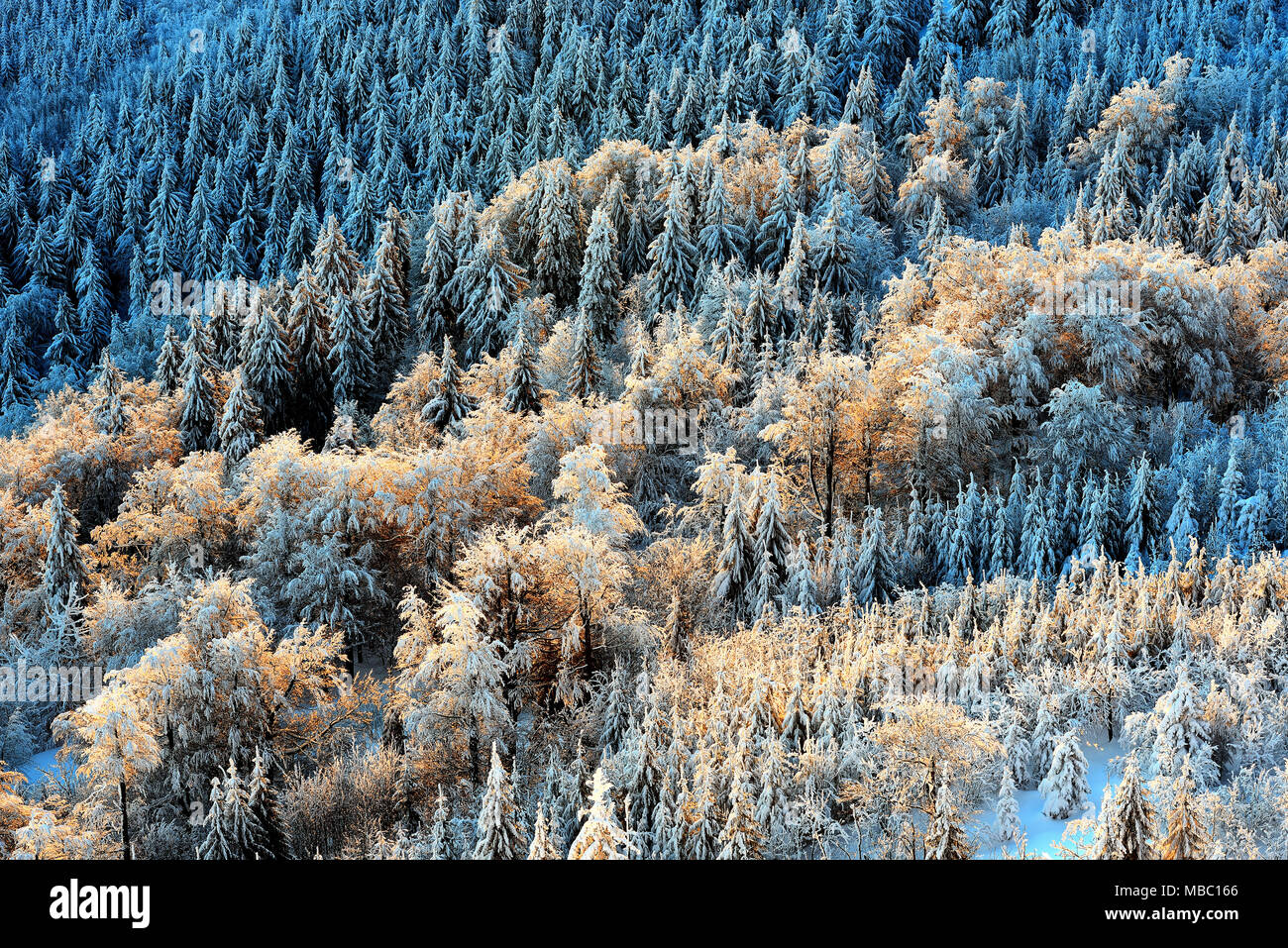 Detail view at colorful trees from Jested mountain peak. Cold winter morning forest. Typical snowy sunrise, Czech republic. - Stock Image