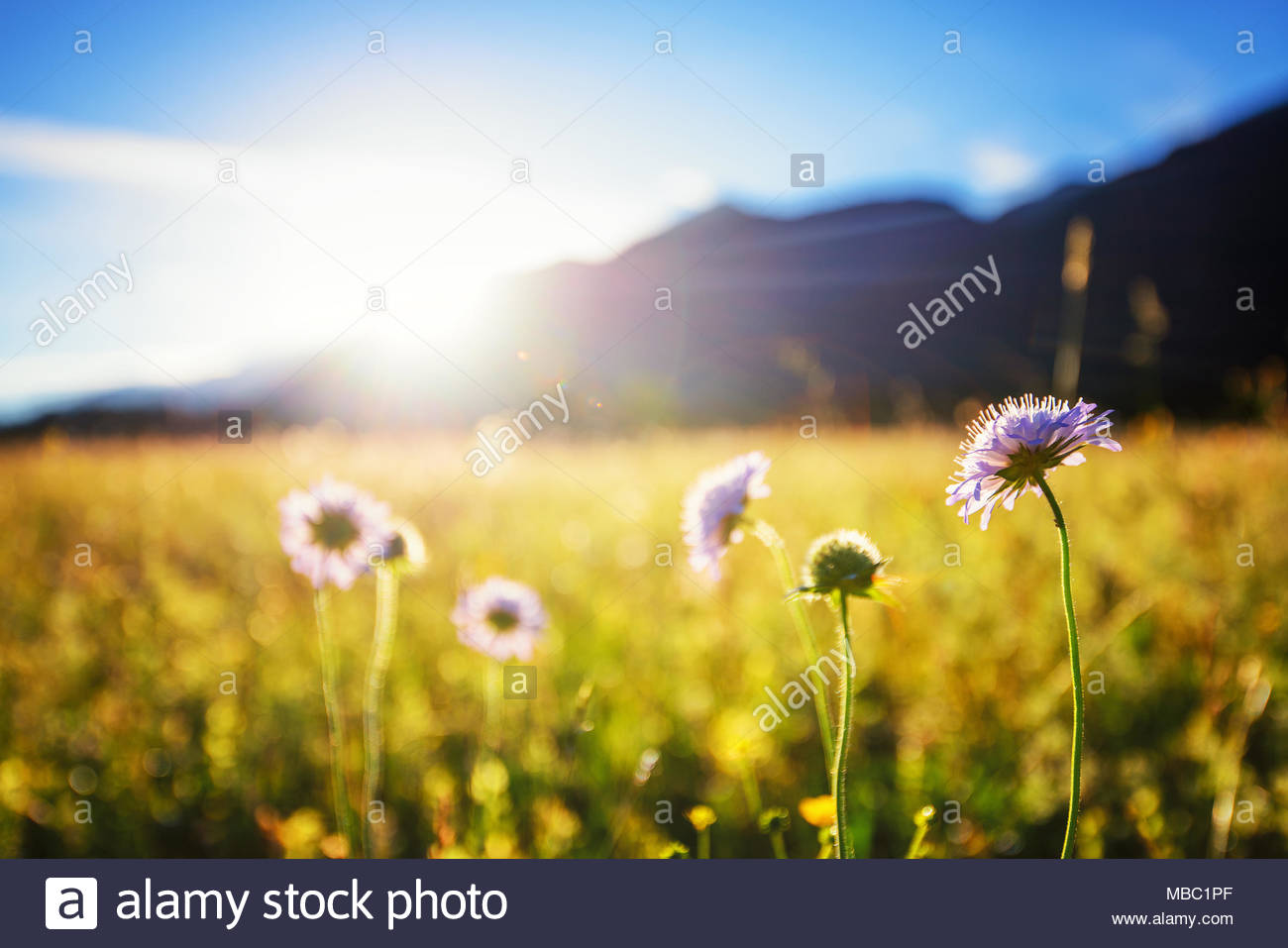 Beautiful spring meadow. Sunny clear sky with hut in mountains. Colorfull field full of flowers. Direct sunlight at Grainau, Germany - Stock Image
