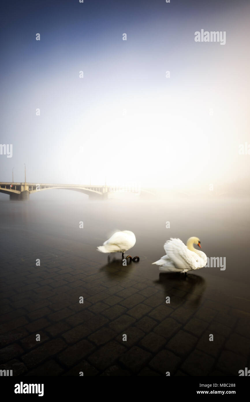 Foggy morning view near bridge with two swans at Vltava river, Prague, Czech republic - Stock Image