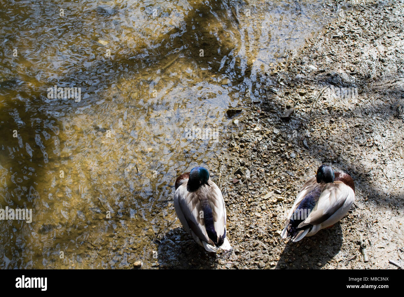 Seen from above two male mallard ducks asleep - Stock Image