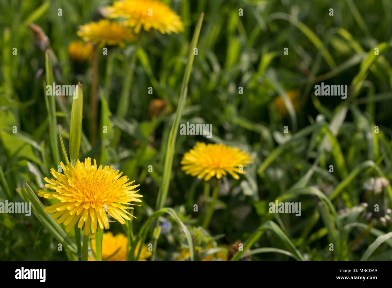 Dandelions Typical Yellow Flowers That Bloom In Spring Close Up Of