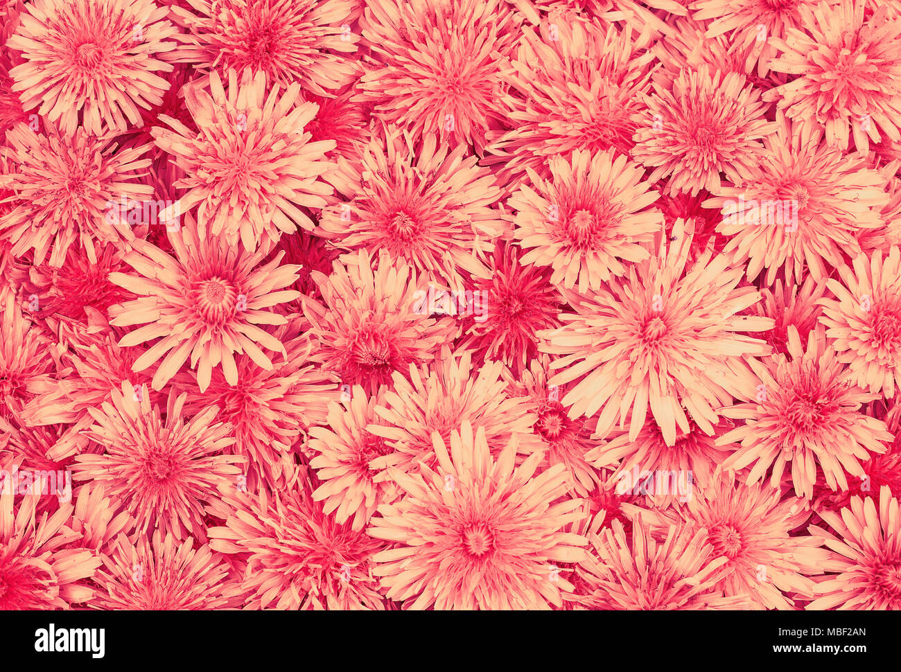Delicate Beautiful Natural Background Of Many Fluffy Red Daisy