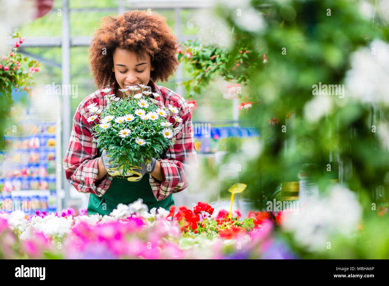 Florist Smiling While Holding A Beautiful Potted Daisy Flower Plant