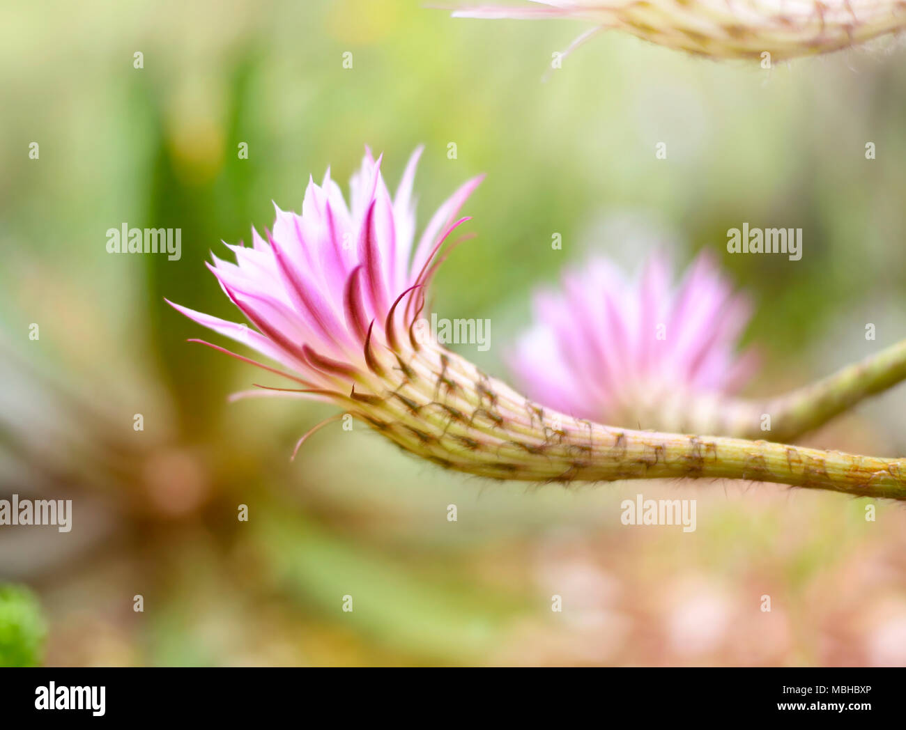 Blossoming Cactus With Selective Focus And Pink Or Rose Flowers