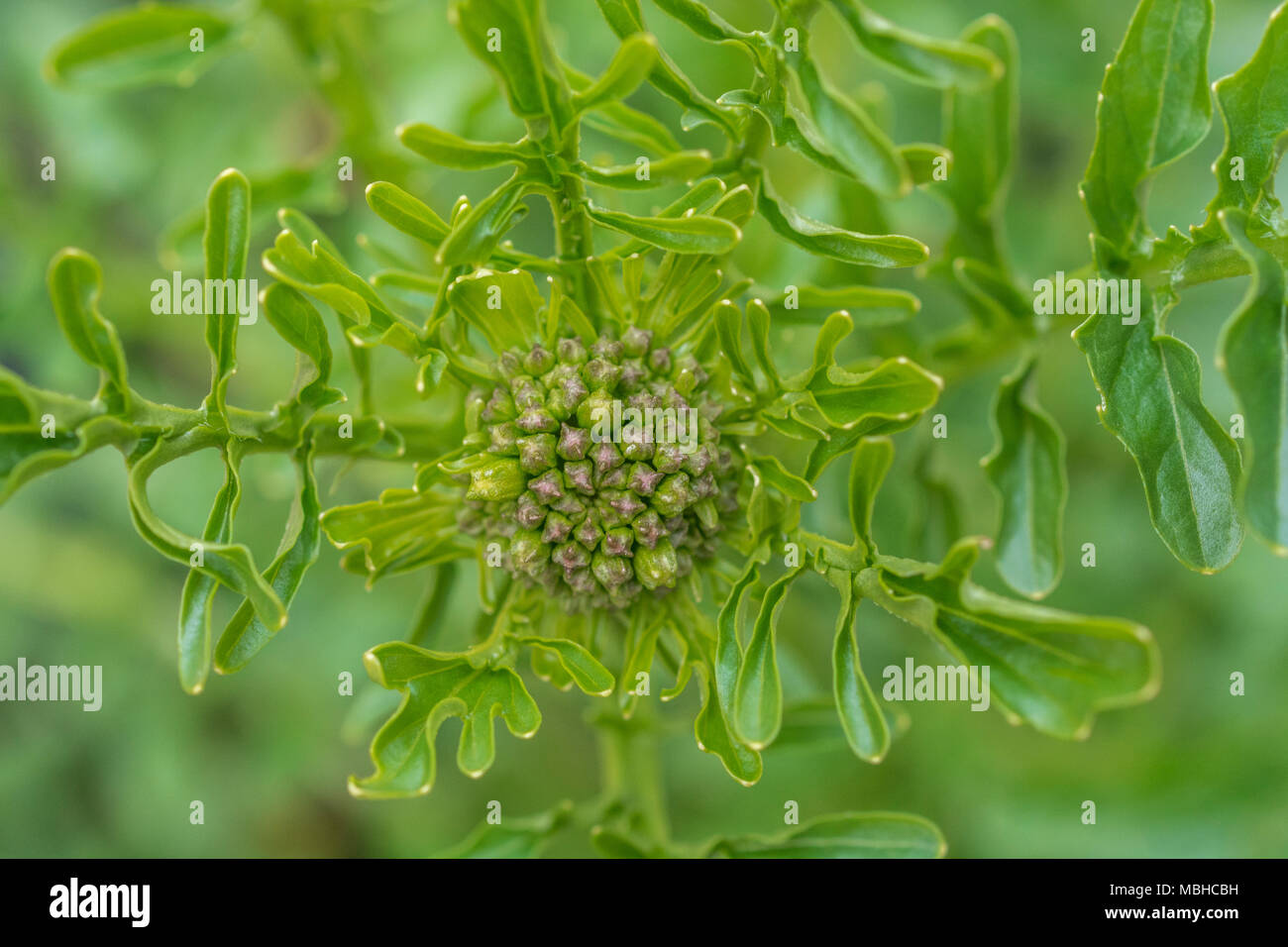 Close up of flowering top of Winter-Cress (Barbarea vulgaris) - once grown as a foodstuff but now regarded as a wild plant and sough by foragers. - Stock Image