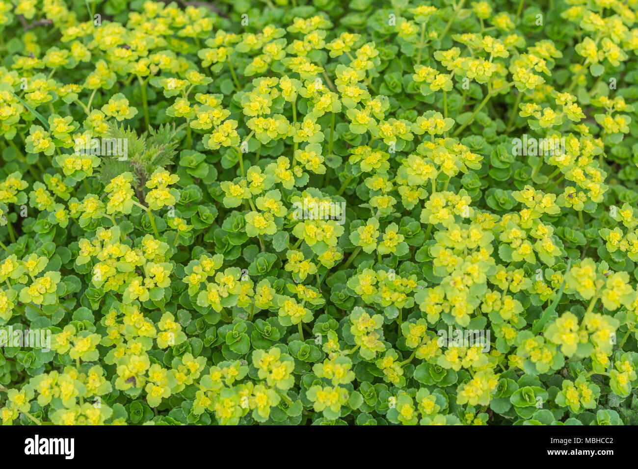 Mass of flowering (springtime) Opposite-Leaved Golden Saxifrage - a water-loving plant which may be eaten and is foraged. - Stock Image