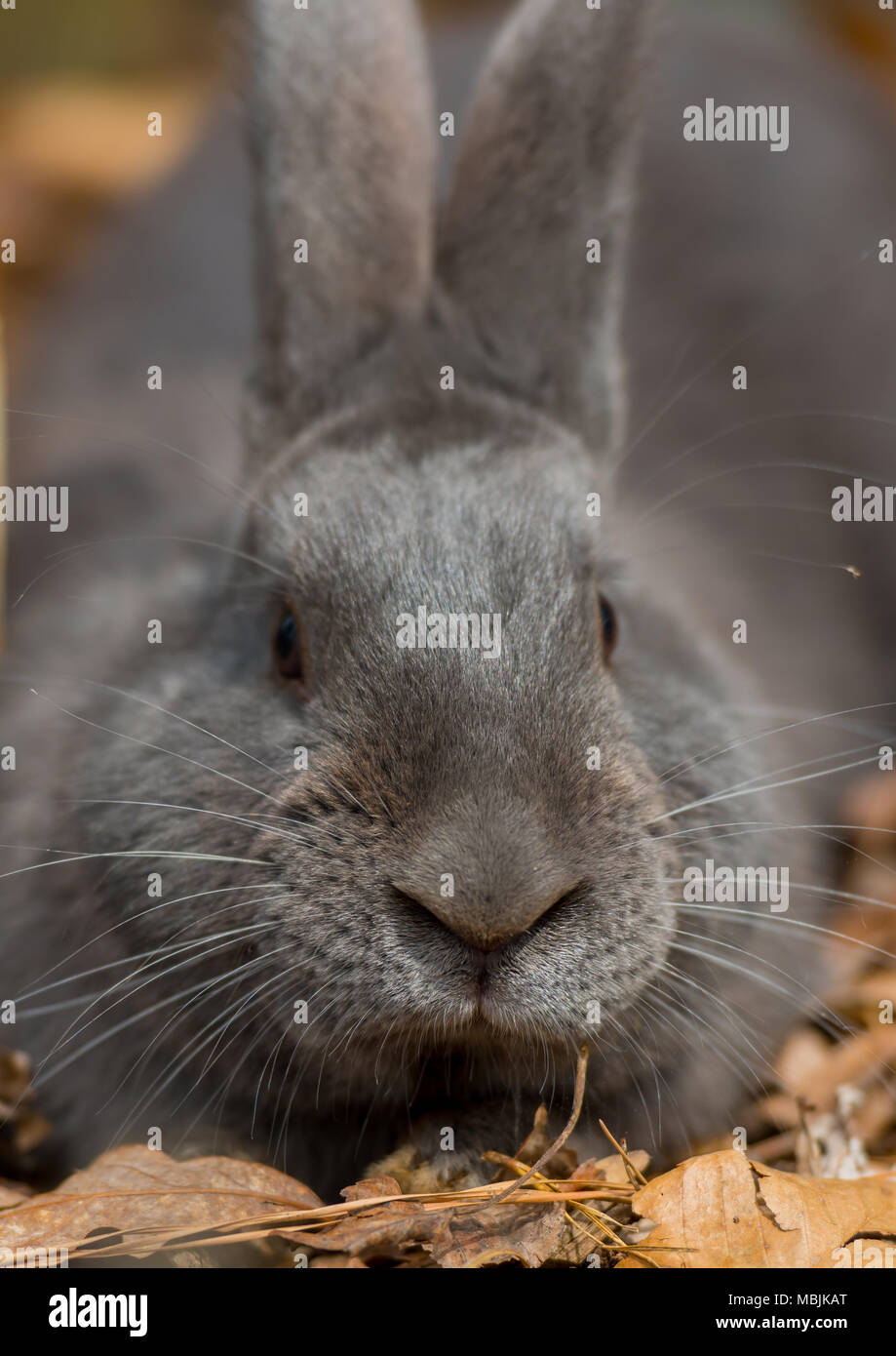 Dark Gray Rabbit Looks at Camera while sitting in leaves - Stock Image