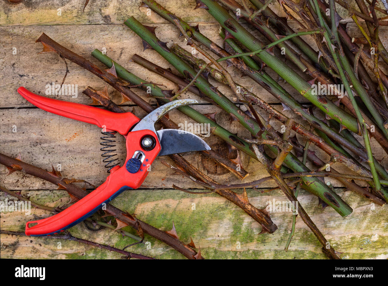 Gardening - pruning roses with secateurs - Stock Image