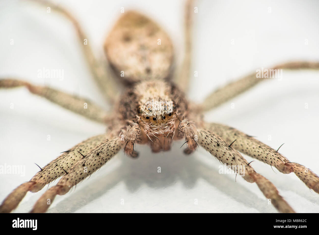 Portrait and detail of a buzzing spider on a white background - Stock Image