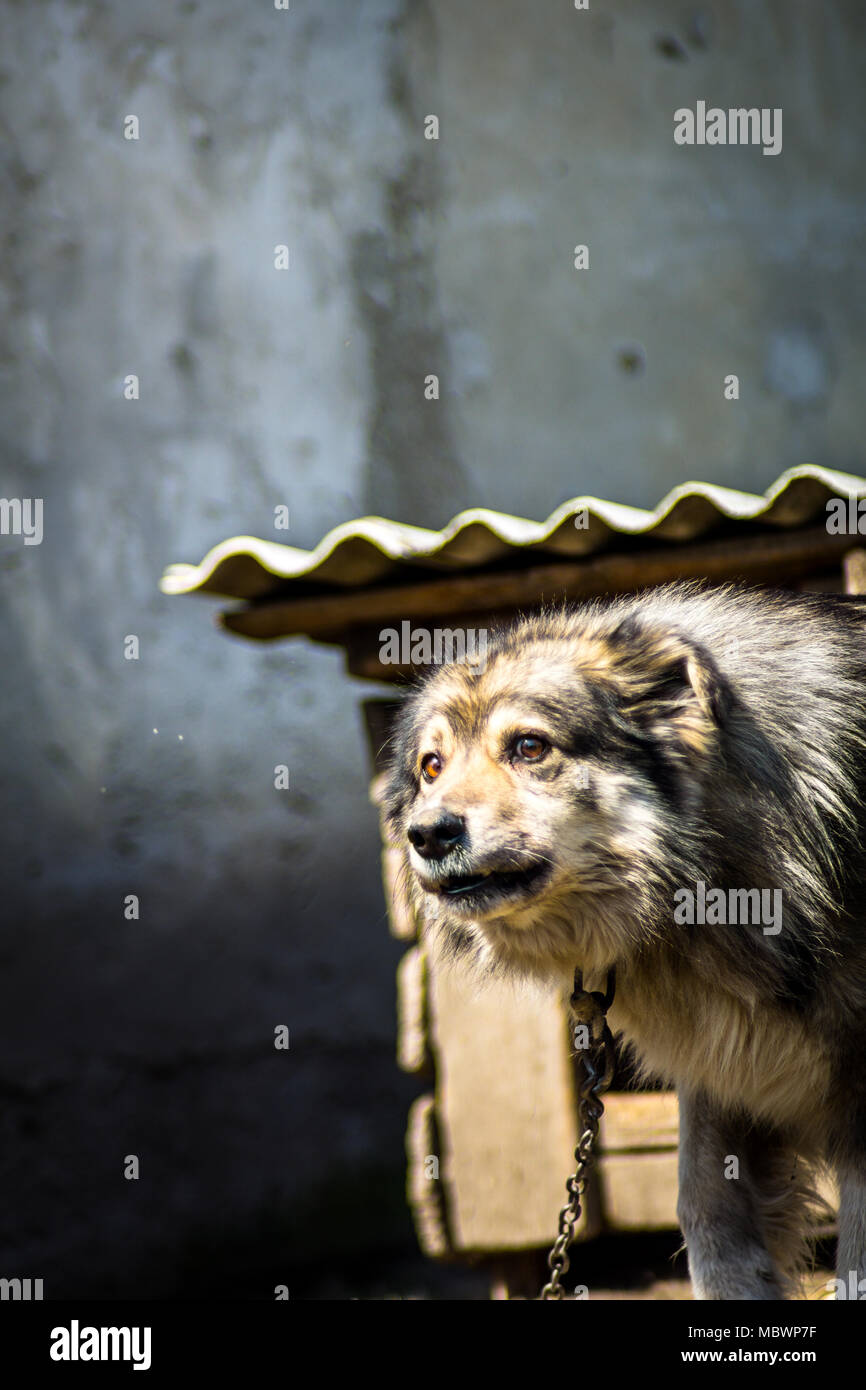 Scared dog on a chain barking. Frightened dog on a chain - Stock Image