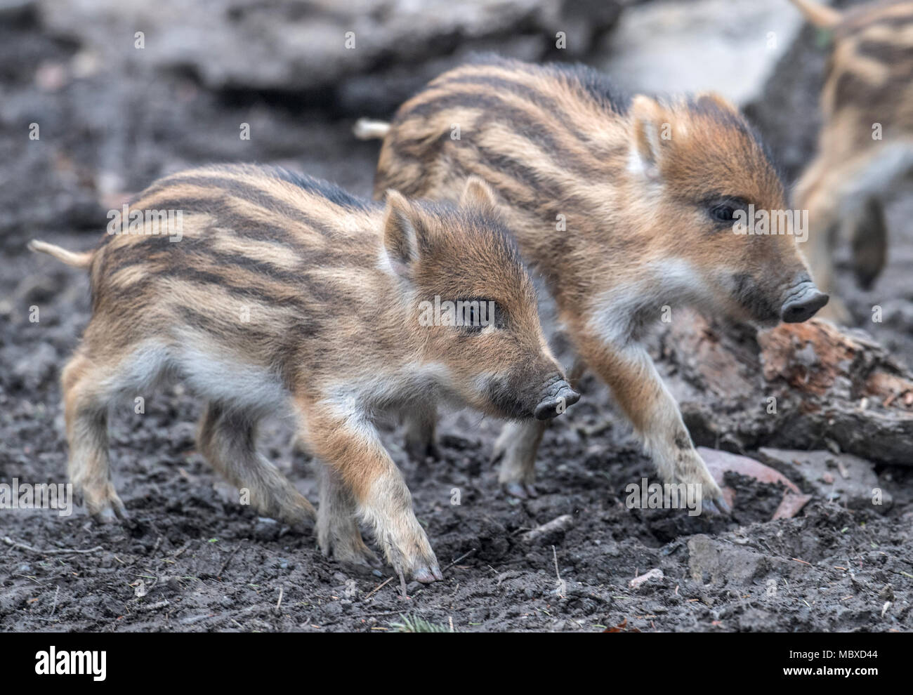 Witten, Germany. 12 April 2018, Germany, Witten: Young wild boars dwell in an open-air enclosure. Photo: Bernd Thissen/dpa Credit: dpa picture alliance/Alamy Live News - Stock Image