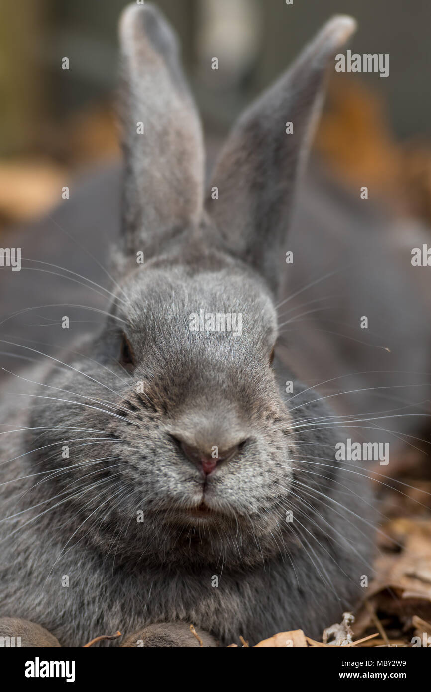 Large Gray Rabbit Cocks Head at Camera vertical image - Stock Image