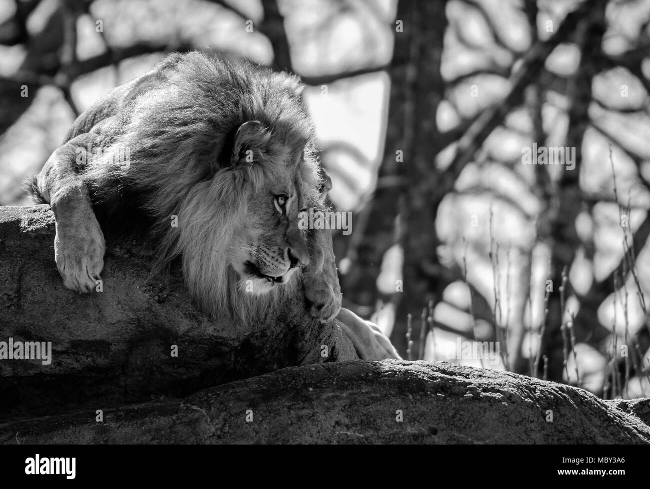 Lion Stares Right With Copy Space in black and white - Stock Image