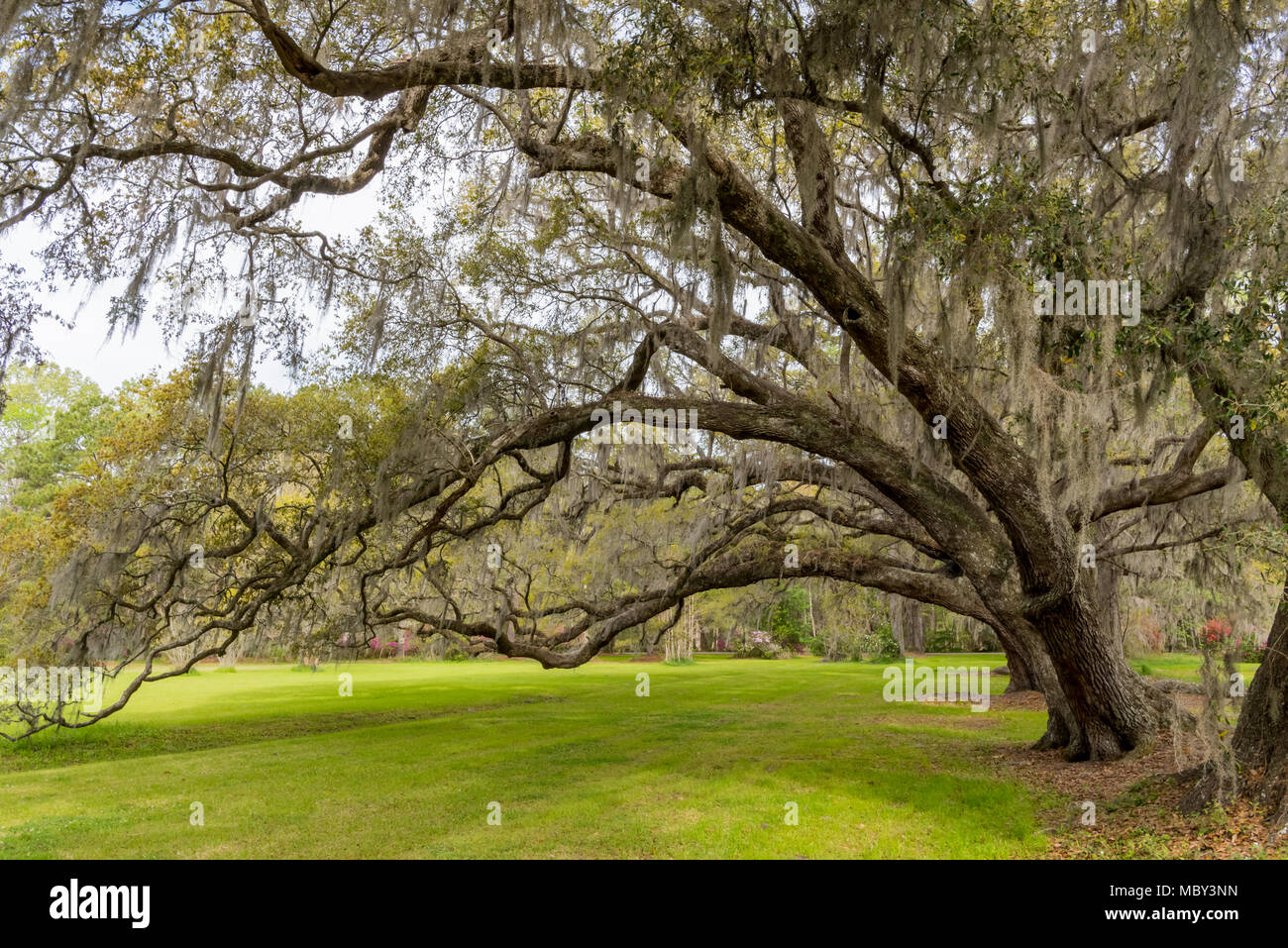 Live Oaks Bow Over Green Grass in southern garden - Stock Image