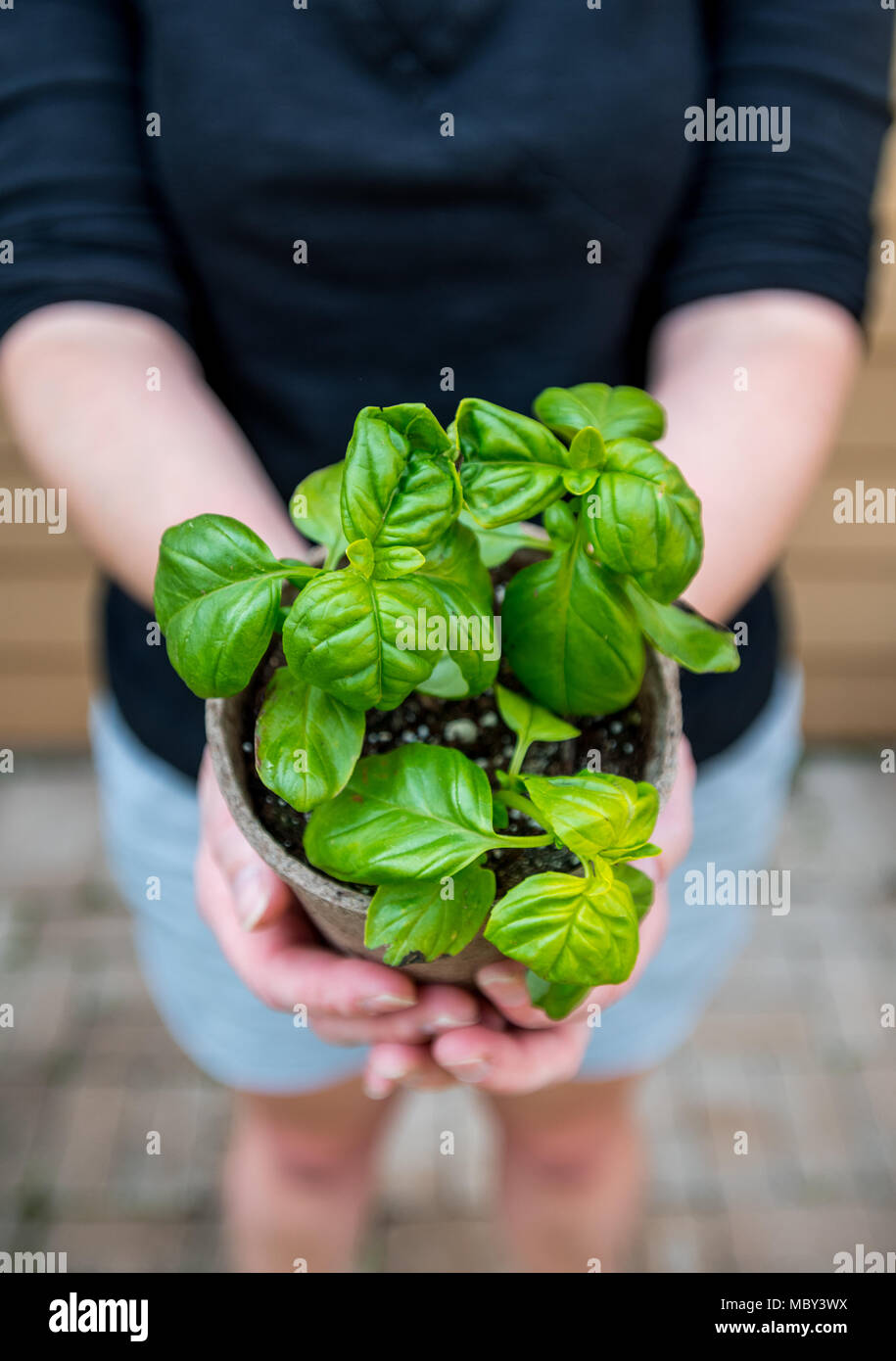 Looking Down on Young Basil Plant in Hands of gardener - Stock Image