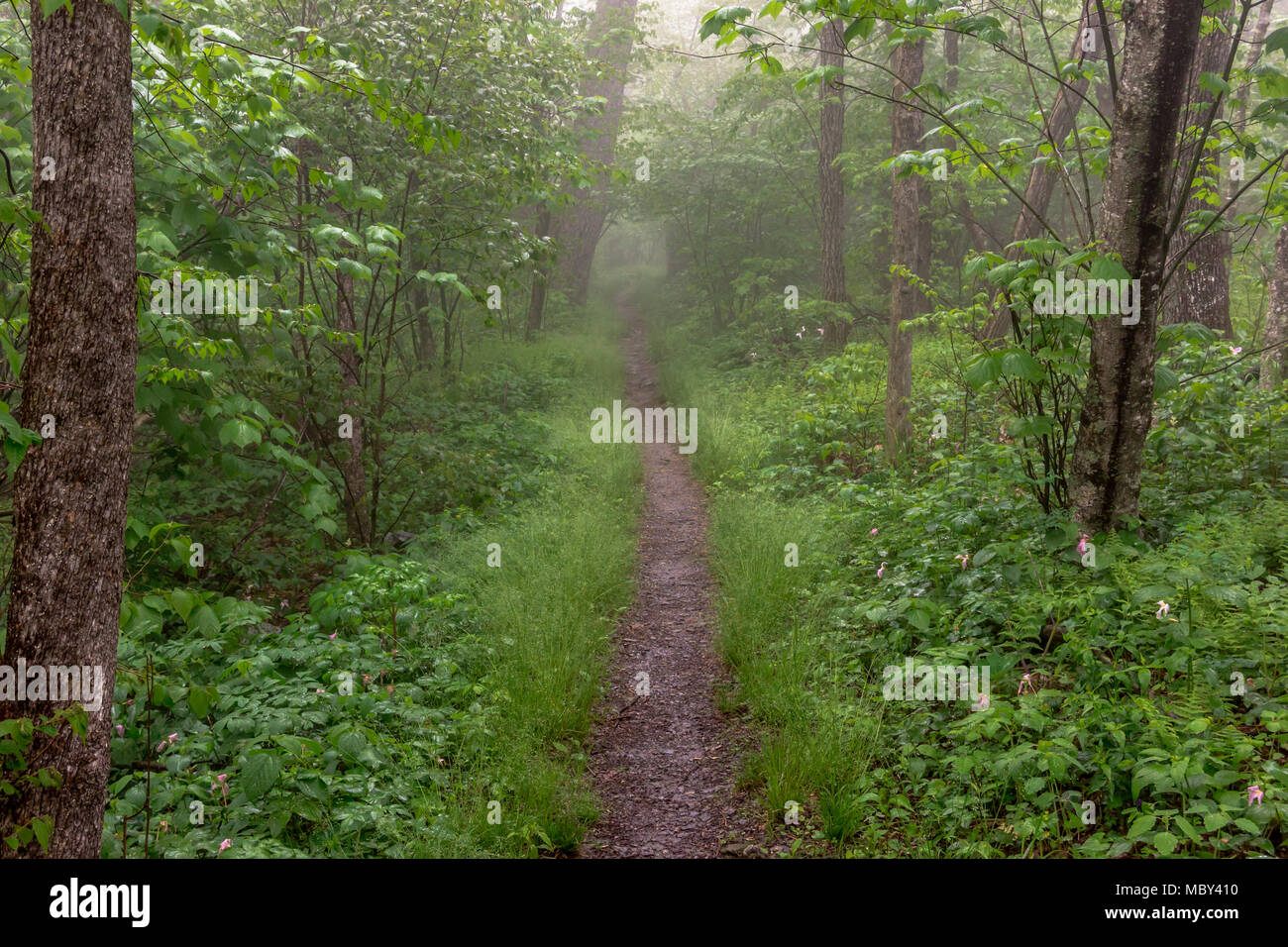 The Appalachian trail cuts through foggy woods in Shenandoah National Park - Stock Image
